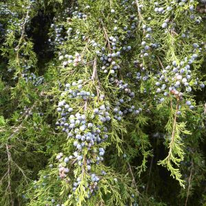 Juniper berry.comp