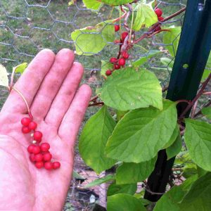 Schisandra berry.comp